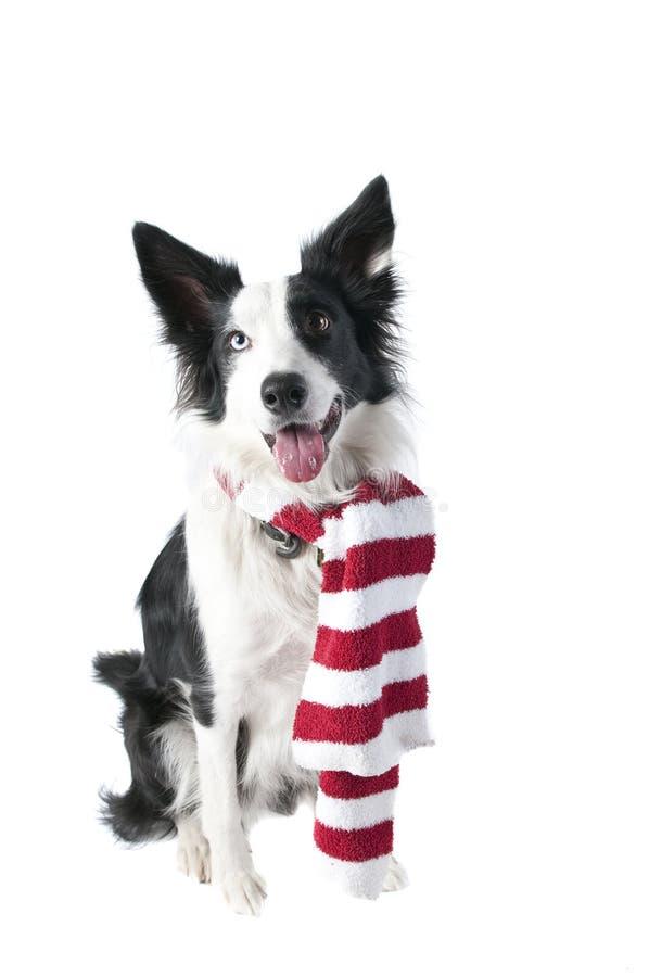 Confini Collie Dog nel Natale di festa Attire isolato su bianco immagini stock libere da diritti