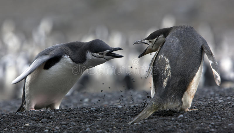 The conflict Antarctic penguins. The conflict of two Antarctic penguins on the shore royalty free stock image