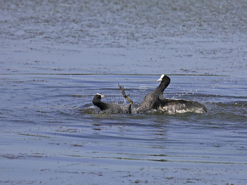 Download Conflict between coots stock photo. Image of down, battle - 15389796