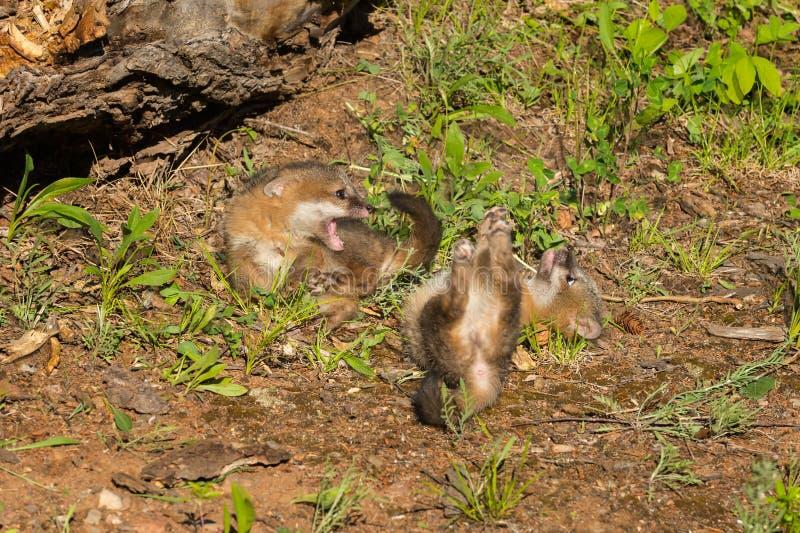 Conflit de Grey Fox Kits (cinereoargenteus d'Urocyon) image stock