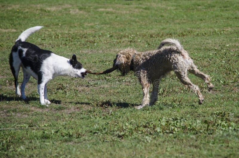 Conflito do jogo de dois cães com uma vara imagens de stock