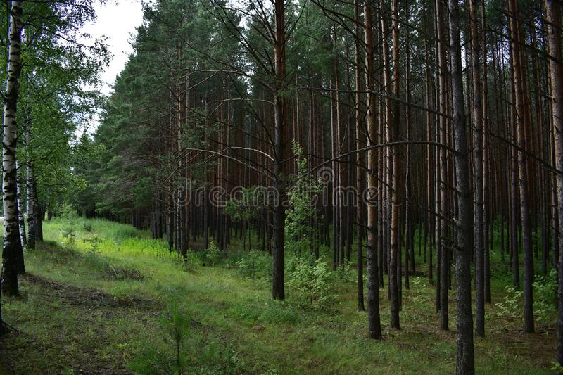 The confluence of deciduous forest and coniferous pine forest, long branches bent royalty free stock images
