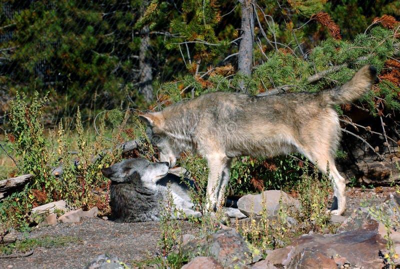Confrontação do lobo de madeira - largamente foto de stock