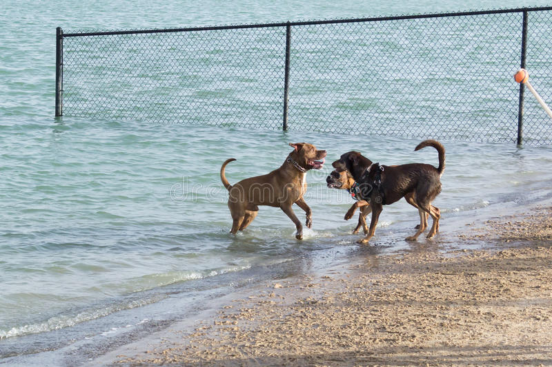 Confrontation between three dogs at a dog park beach royalty free stock image