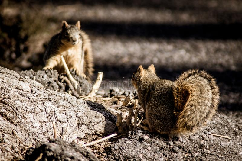 Confrontational squirrels royalty free stock images