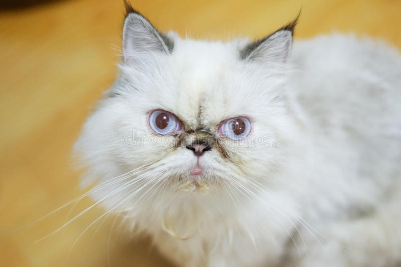 Confuse cat. What is he think? white hair with blue eyes confuse cat royalty free stock photography