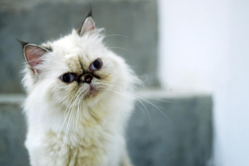 Confuse cat. What is he think? white hair with blue eyes confuse cat stock photography
