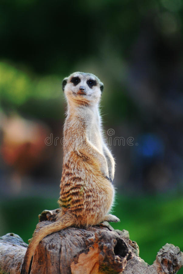 Confused meerkat смотря камеру стоковое фото