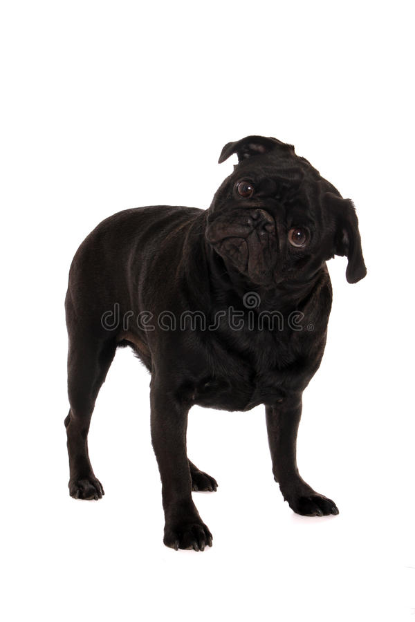Download Confused pug stock image. Image of baby, black, puppy - 28928155