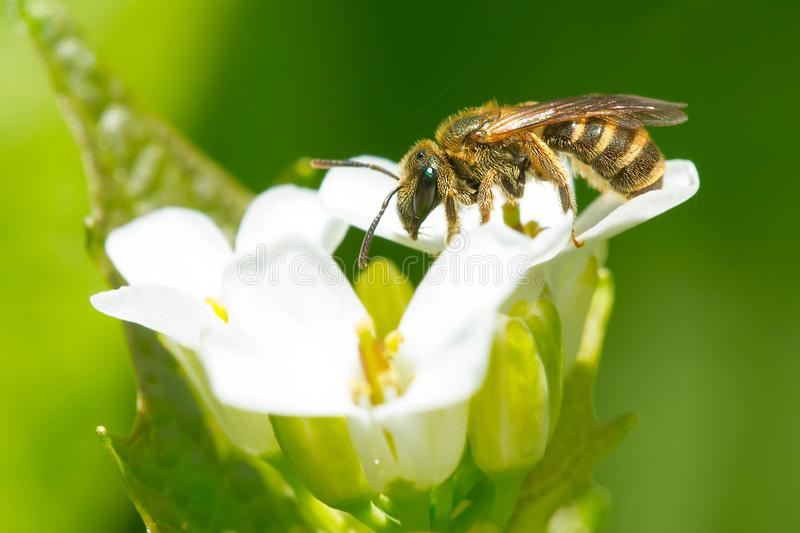 Confusing Furrow Bee - Halictus confusus. Confusing Furrow Bee collecting nectar from a Garlic Mustard Flower. Also known as a Southern Bronze Furrow Bee stock images