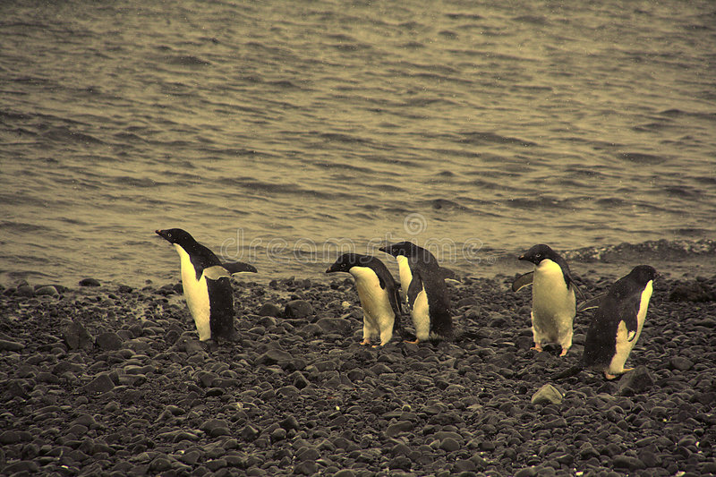 Confusion - adelie penguins not sure where to go stock photo