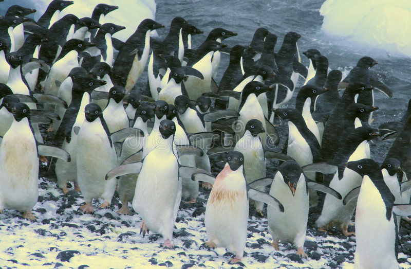 Confusion - startled penguins stock photo