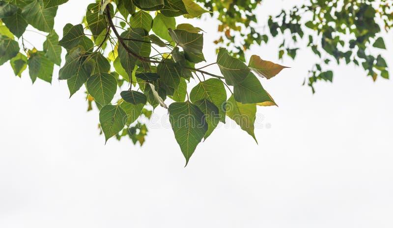 Congé d'arbre de Bodhi sur le fond blanc photos libres de droits