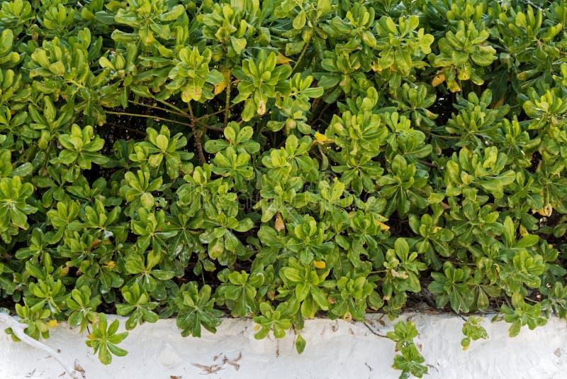Congé de feuille de buisson de vert d'usine de chou de plage photo libre de droits