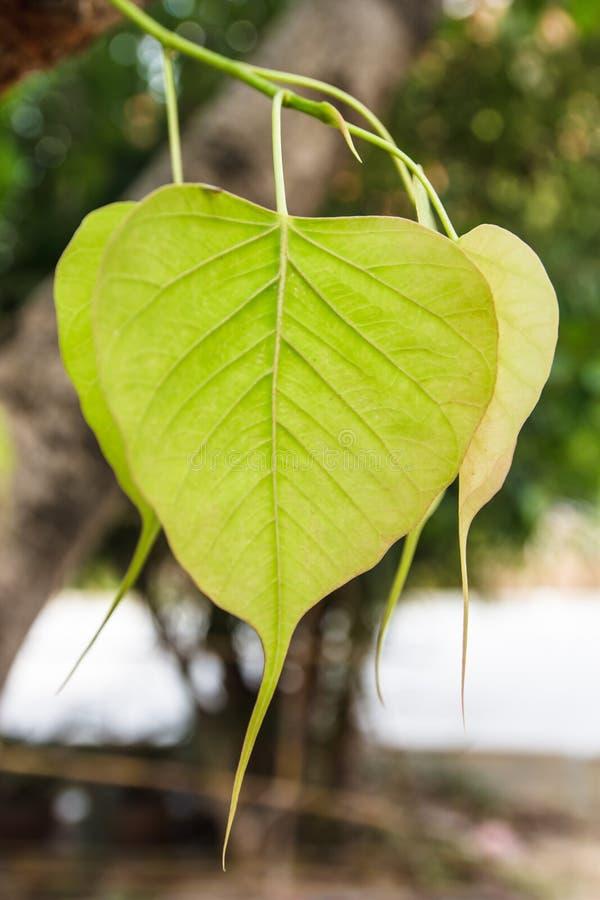 Congé de Pho ou de bodhi dans la forêt image stock