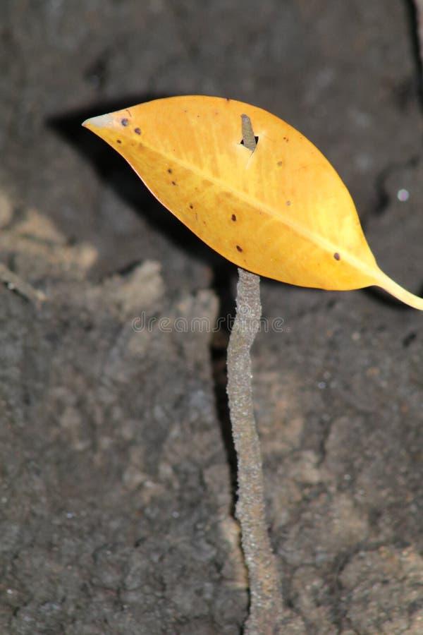 Congé tombé empalé sur l'air-racine d'un arbre de palétuvier image stock
