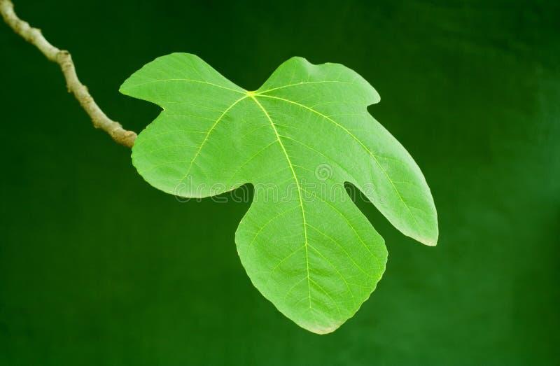 Congé vert de figue photos stock