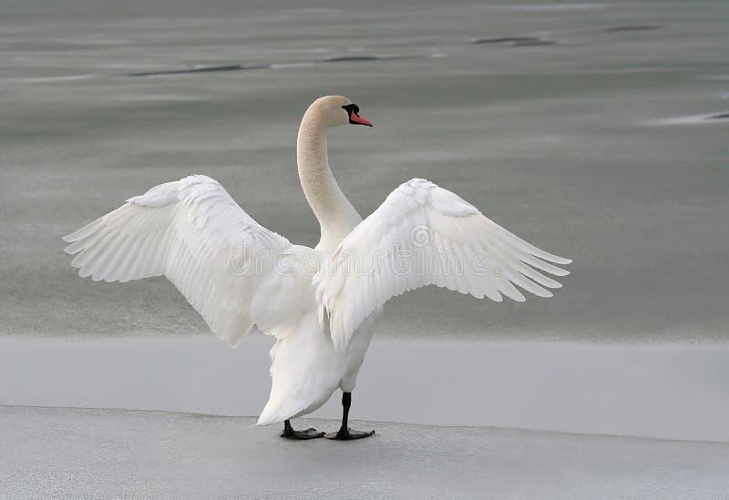 congelé son lac étirant à l'extérieur des ailes de cygne images libres de droits