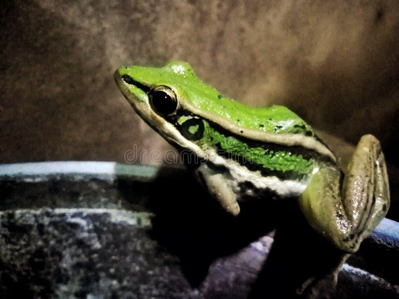 Congel? la rana que la familia tiene un color verde hermoso imagen de archivo