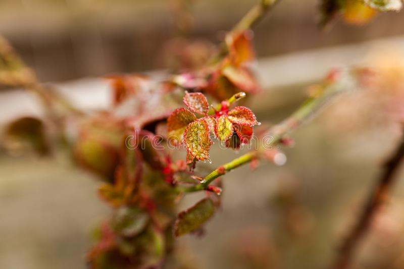 Congelado aumentou no tempo de inverno fotos de stock royalty free