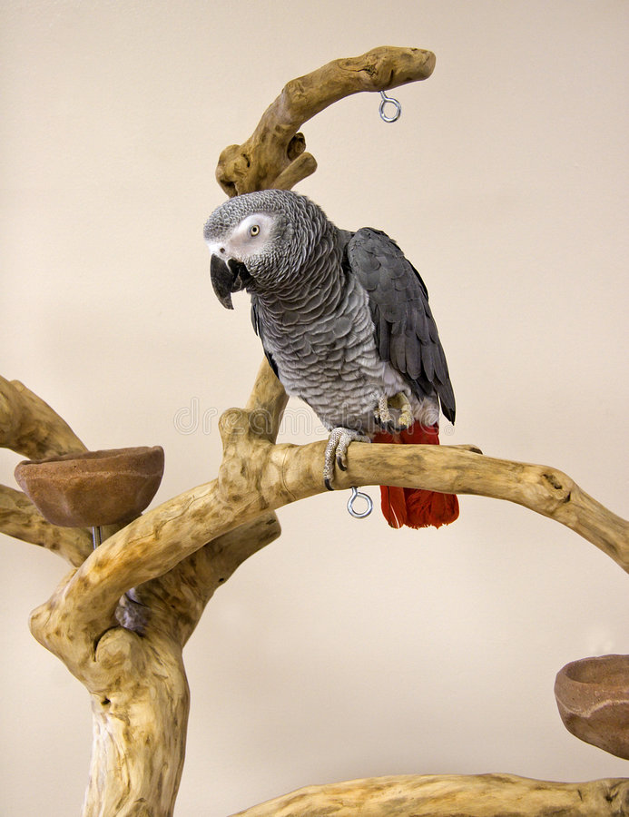 Congo African Grey. On a Tree Perch royalty free stock images