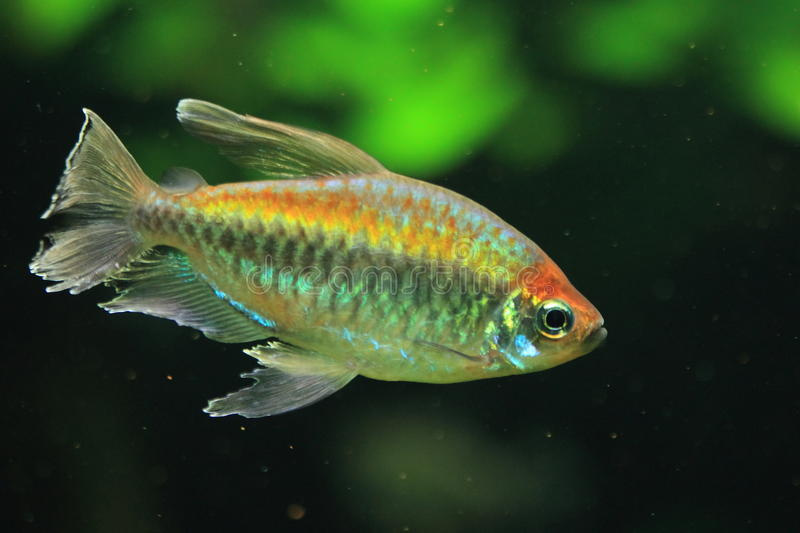 Congo tetra. The congo tetra (phenacogrammus interruptus stock images