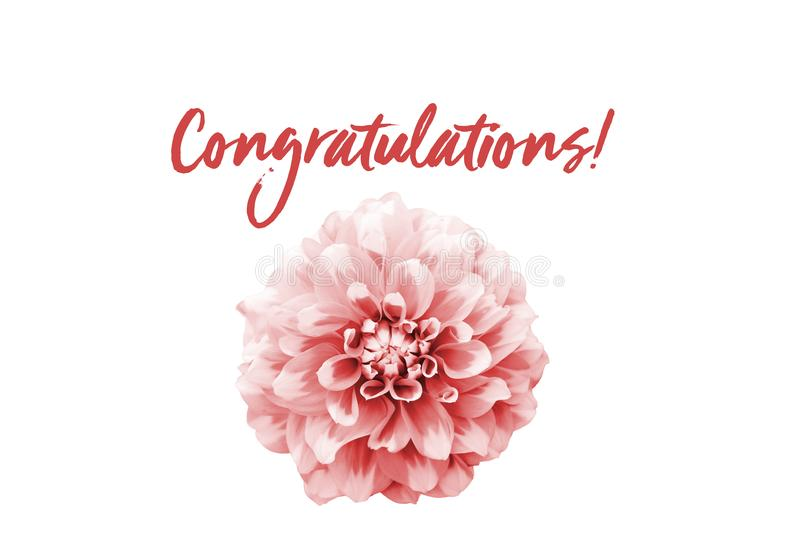 Congratulations pink text message and pink and white dahlia flower isolated on a seamless white background. royalty free stock photo