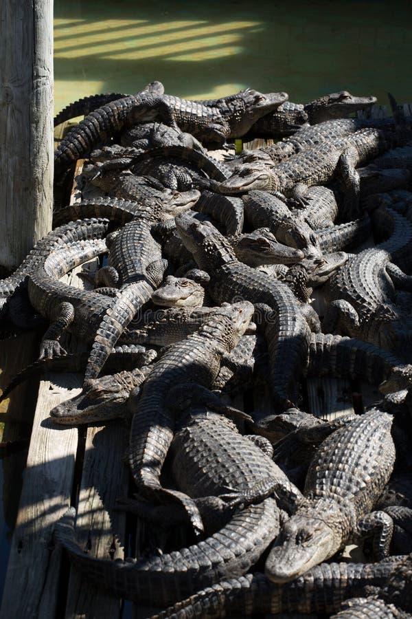 Alligators Congregation stock photo