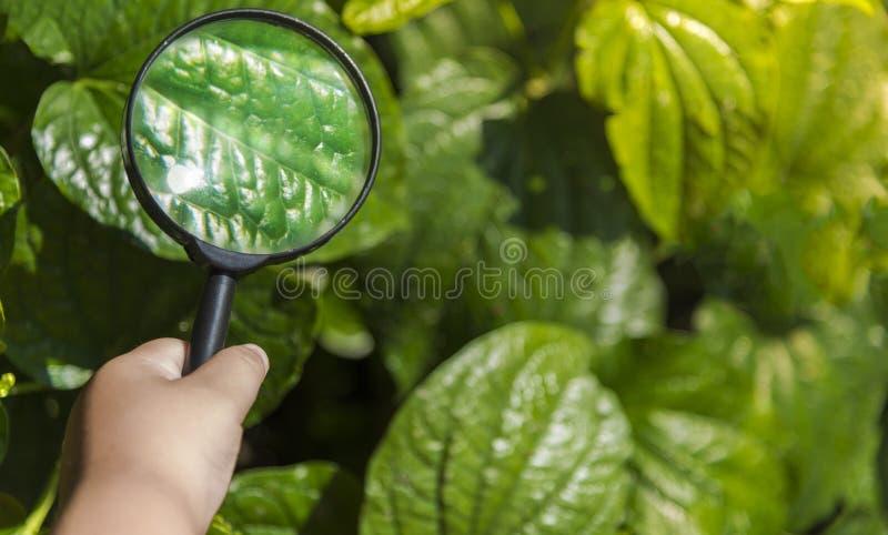 Conheça o mundo o menino da mão do homem branco que está explorando as folhas verdes no verão com sua lupa imagens de stock