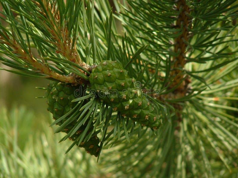 Coni del pino scozzese fotografie stock