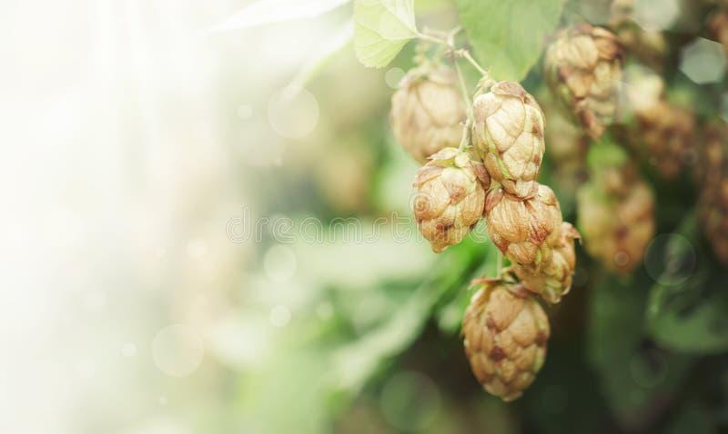 Coni di luppolo sul cespuglio verde, sfondo naturale di autunno, baner con lo spazio della copia, fuoco selettivo fotografia stock libera da diritti