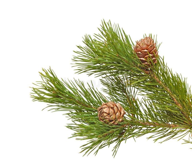 Coni siberiani del pino con la filiale fotografie stock