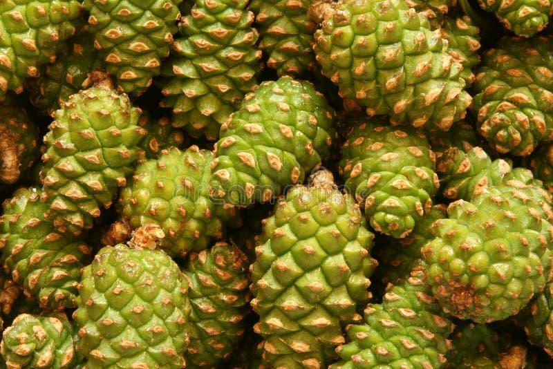 Coni verdi del pino immagine stock libera da diritti