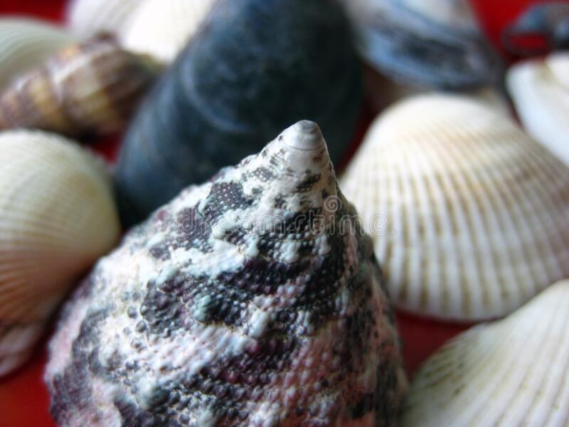 conic-sea-shell stock images