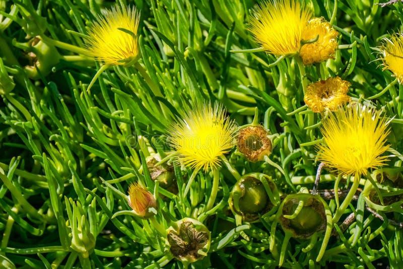 Conicosia pugioniformis; False Iceplant, California stock photo