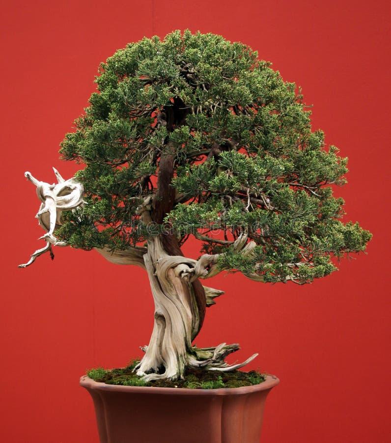 conifer бонзаев стоковая фотография