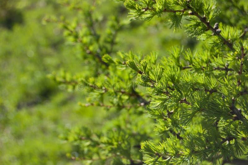 conifer Зеленая предпосылка стоковые изображения rf