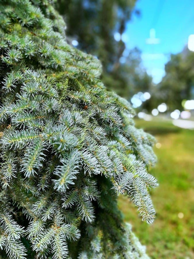 conifer стоковое изображение rf