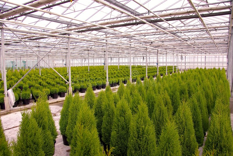 conifer стоковая фотография rf