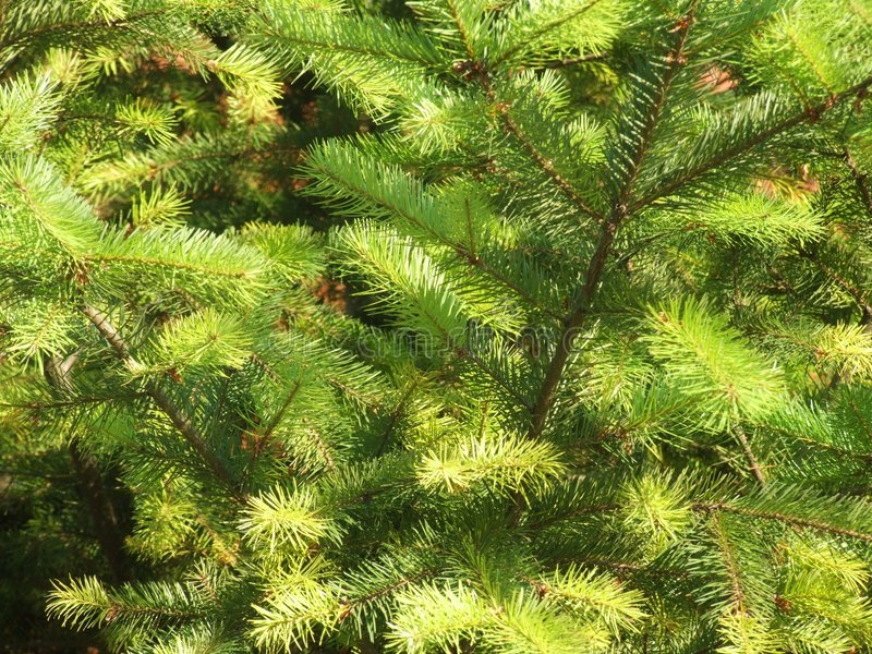 Conifer. Image stock photo