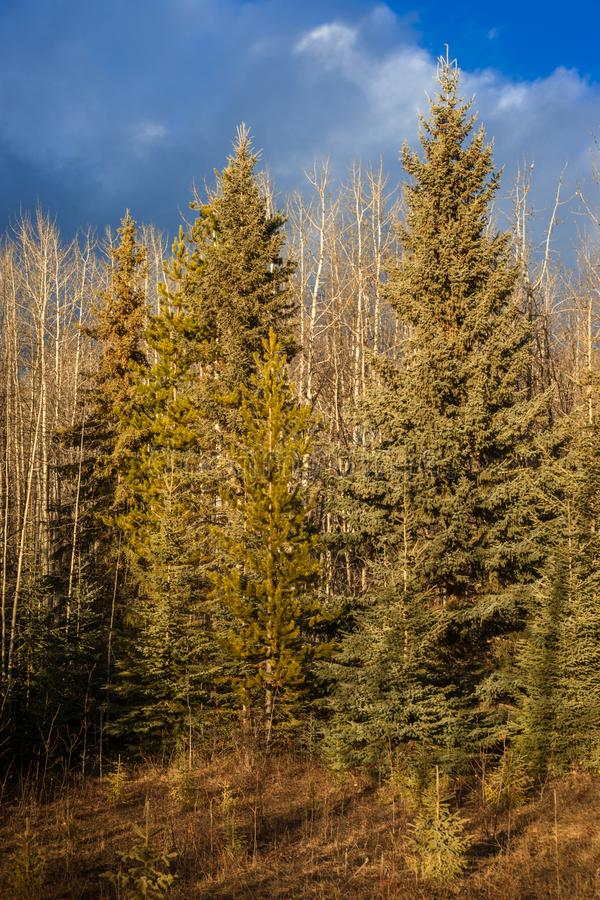 Free Conifer And Aspen Forest Under A Blue Sky Stock Photography - 135187022