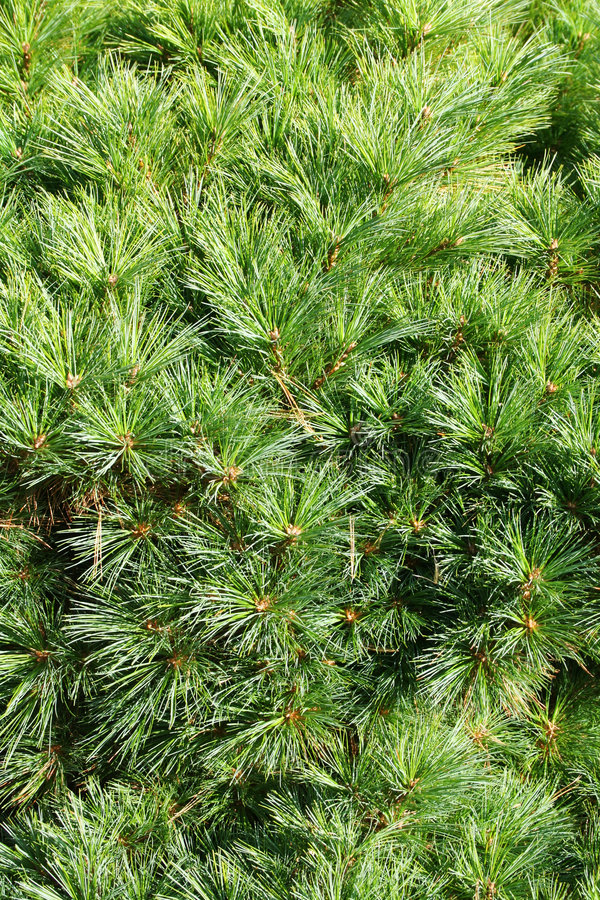 Free Conifer Branch (fir, Pine) Background Stock Photography - 4743792