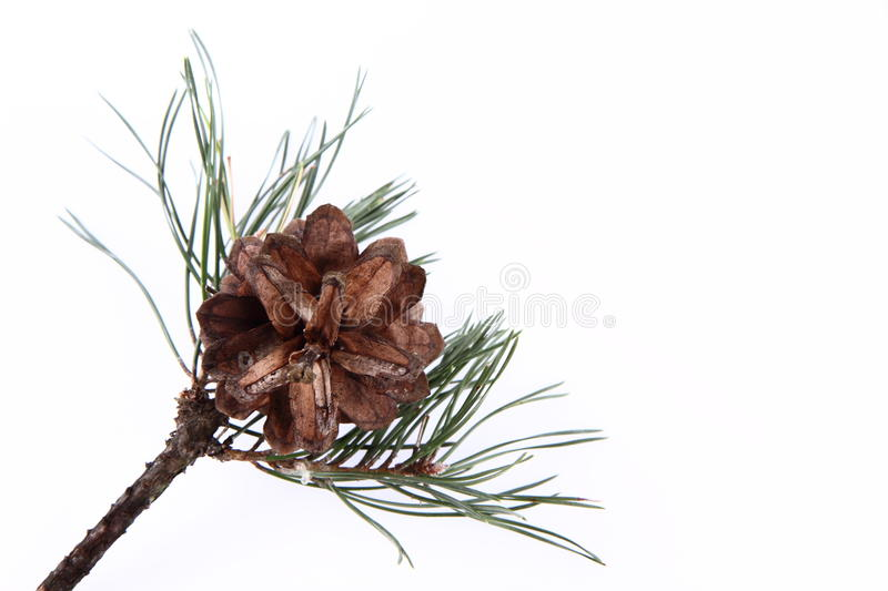 Conifer Cone Stock Photo