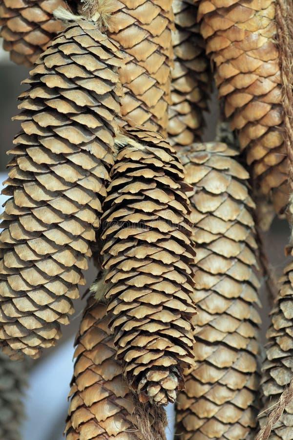 Conifer cone, pinecone. Close up conifer cone, pinecone in Iwate Japana stock photo