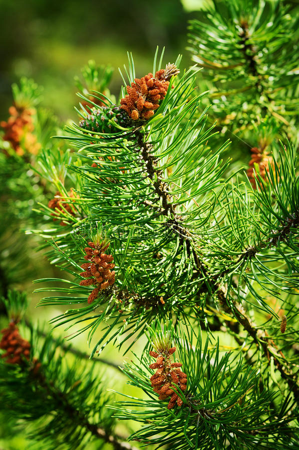 Conifer cones. Scots or scotch pine Pinus sylvestris young male pollen flowers and female cone. royalty free stock photo