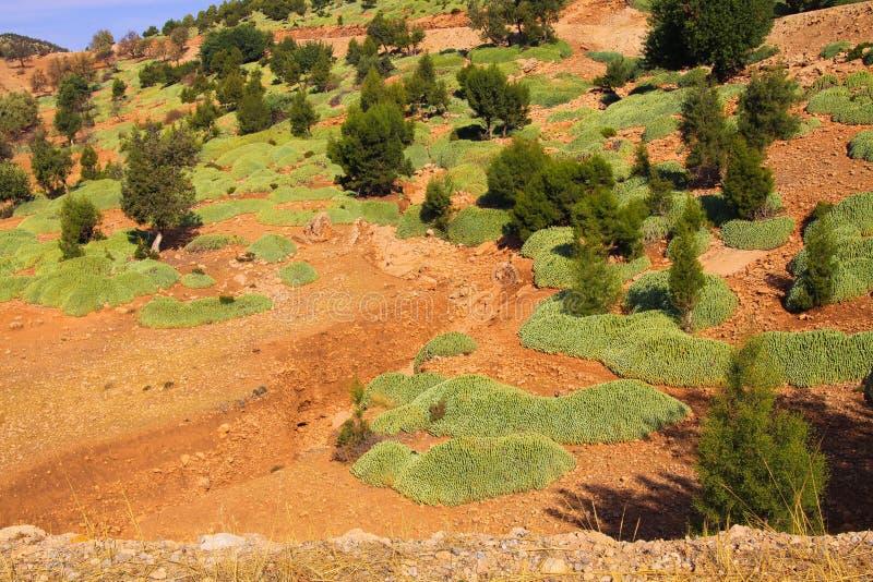 Conifer drzewa i zielony mech na czerwieni suchej ziemi przeciw niebieskiemu niebu - Ourika dolina, Maroko obraz stock