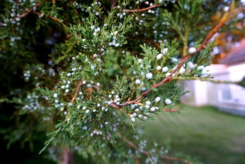 Conifer drzewo obrazy stock