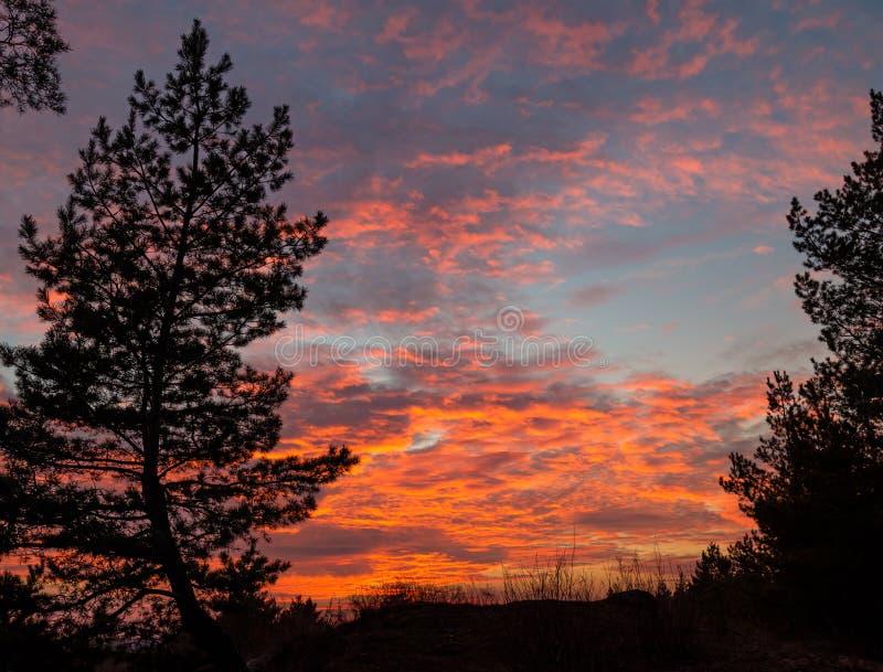 Conifer drzewo na tle różowe chmury fotografia royalty free