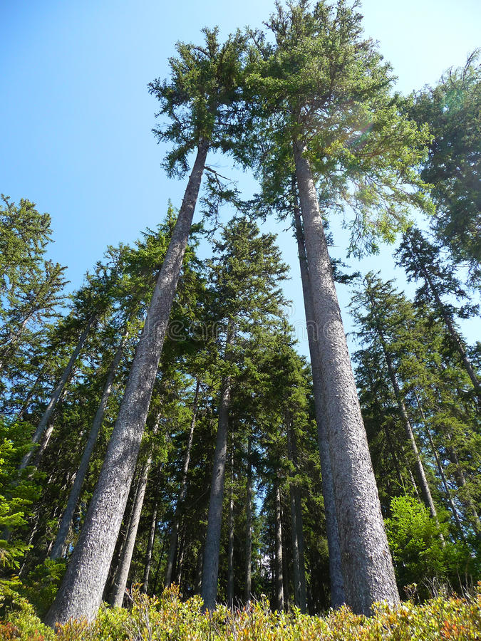 Conifer forest stock images