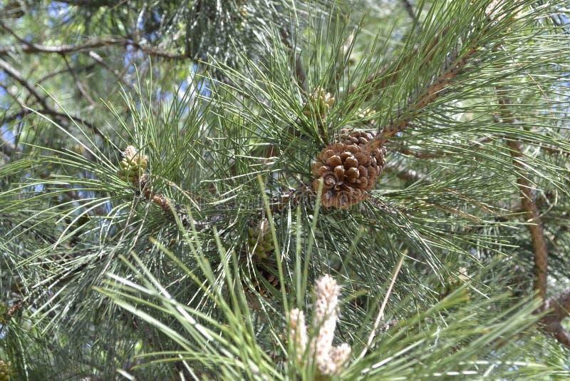 Conifer gałąź z brown gomółką zdjęcie royalty free